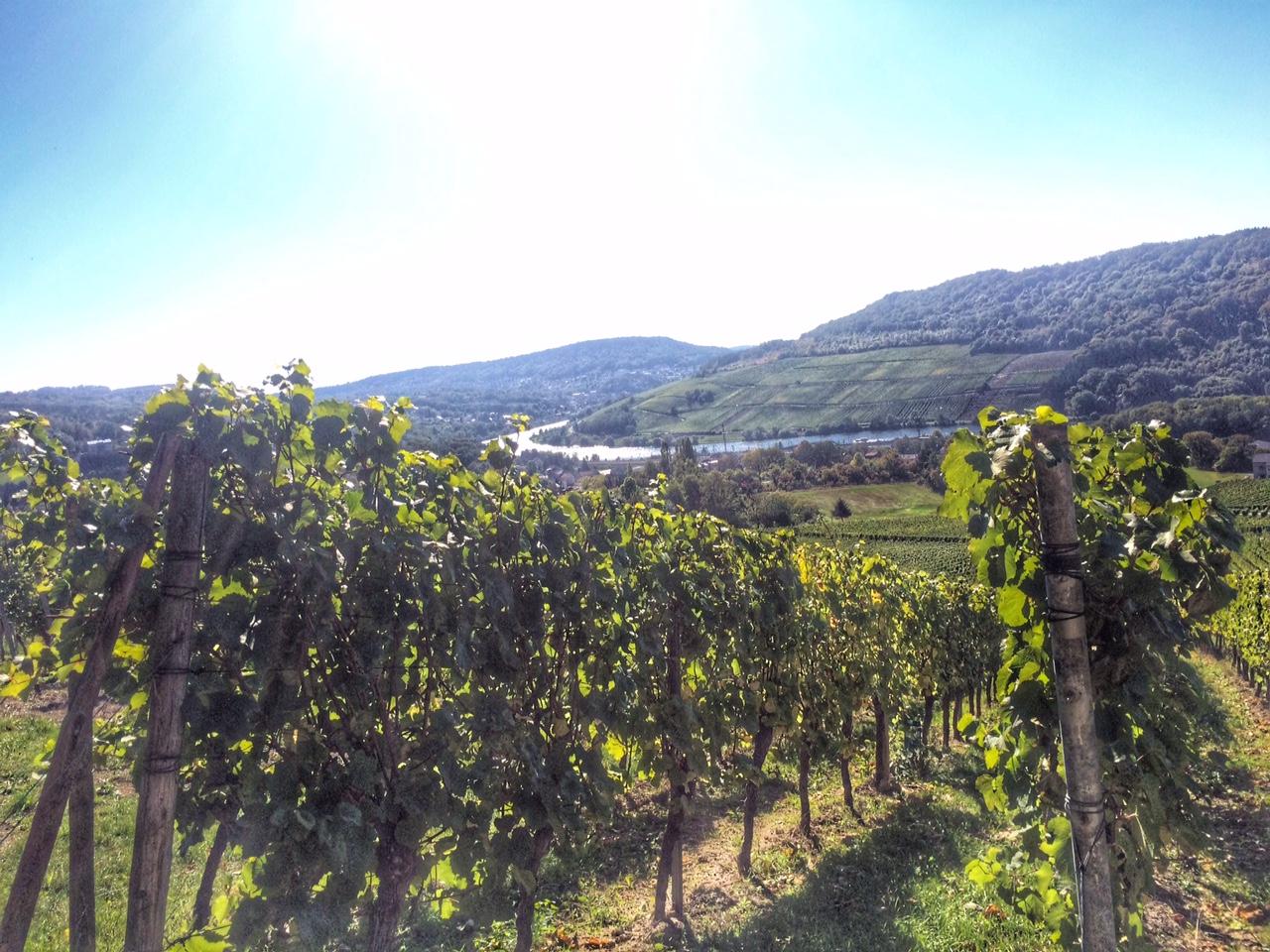 Traubenlese in den Weinbergen
